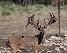 Whitetail Deer Photo Gallery